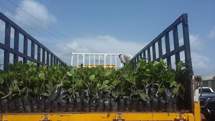 Cashew Seedlings