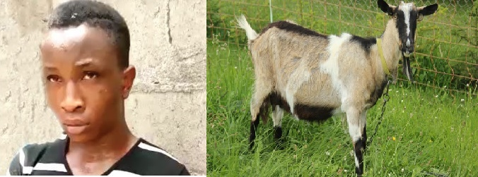 TOO BAD!! Nigerian Man Caught Red-Handed Sleeping With Goat In Ekiti State (Watch Video)