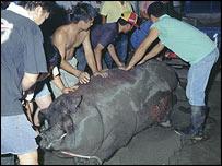 BBC Image of the 2003 winning pig