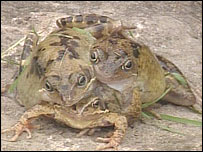 https://i0.wp.com/newsimg.bbc.co.uk/media/images/39920000/jpg/_39920559_frog.jpg