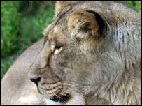 shanghai zoo lion