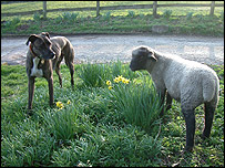 Perro y oveja, BBC