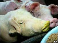 Transgenic pig