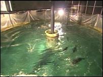Los tanques están diseñados para mantener a los atunes felices y bien mimados.