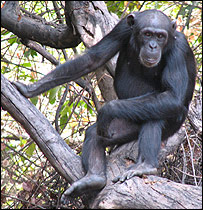 Senegal chimp   Image: Iowa State University