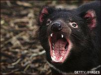 Más de 10.000 de estos animales han muerto debido al llamado Tumor Facial de los Demonios.