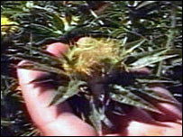La planta modificada se cultiva en Chile, Canadá y EE.UU.