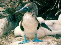 El piquero de patas azules es una especie endémica de las Islas Galápagos.