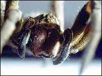 Armadeira es el nombre común de las arañas de la especie Phoneutria.