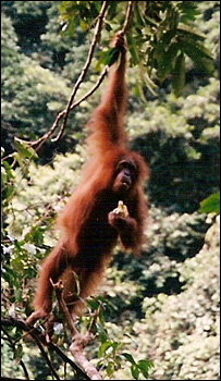 Los ancestros humanos pudieron tener un comportamiento parecido al de los orangutanes.