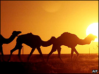 Camels in Australia - file photo