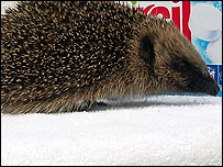 Lucky the hedgehog at Brent Lodge