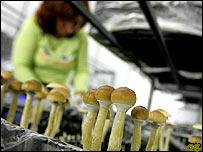 A woman harvests magic mushrooms in a grow room at the Procare farm in Hazerswoude, central Netherlands, Friday Aug. 3, 2007