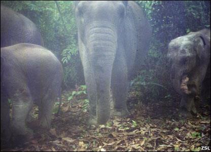 Gajah Asia di hutan Sumatra