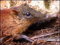 New species of elephant shrew (Francesco Rovero)