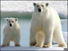 Polar bears (file picture)