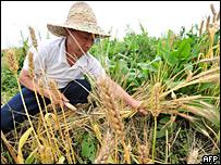 Campesino chino cosechando trigo