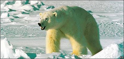 Oso Polar, especie amenazada por el calentamiento global,  Alaska,  AP