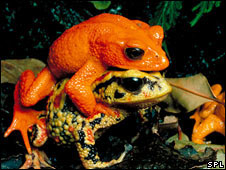 Golden toads mating