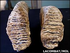 Mammoth molars (Lacombat/Mol)