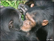 Chimps at Chester Zoo (S.P.Hill)