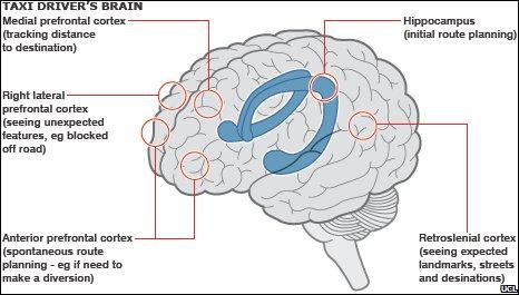 Taxi driver's brain