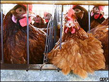 Battery chickens at farm in Sicily