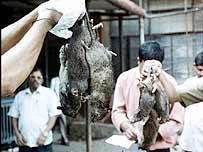 Exterimio de ratas