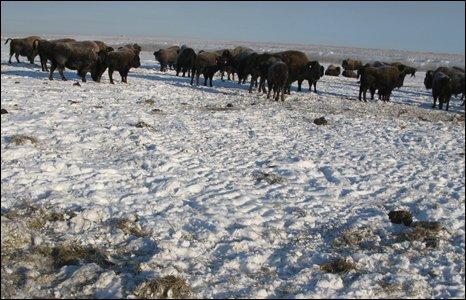 Bison on reclaimed land