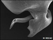 H sadistica male genitalia (M Rezac)