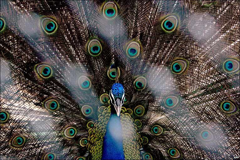 A green peacock displays its feathers in Dubai zoo, the oldest zoo in the Arabian peninsula and home to nearly 200 species of mammals, birds, reptiles and fish. BBC.
