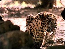 Leopard in India