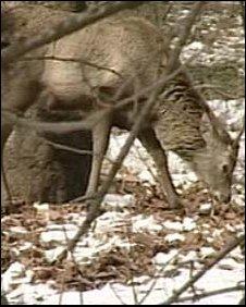 Hangul deer