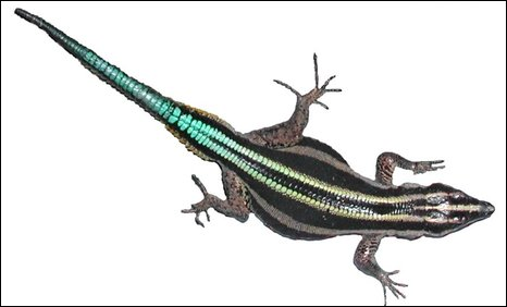The lacertid lizard Holaspis guentheri
