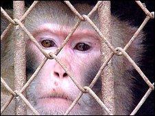 Monkey in India