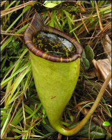 Giant carnivorous plant