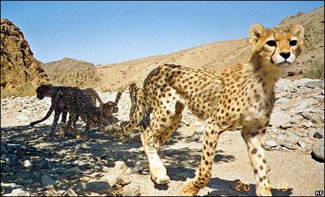 cheetah in India के लिए चित्र परिणाम
