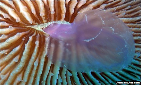Coral eating jellyfish, photo by Omri Bronstein