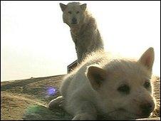 Huskies in Greenland