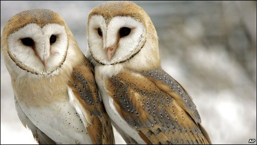 BBC  Barn owls bond at abandoned Hauxley nest site