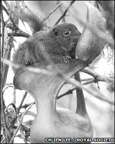 Tree shrew enjoying the nectar of a N. lowii pitcher