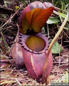 A large N. raja pitcher awaits its fill