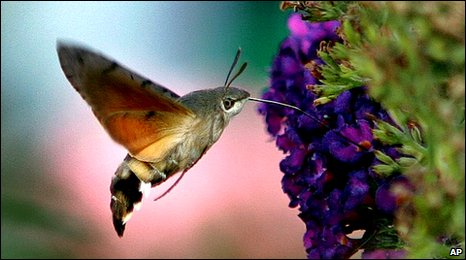 Bbc  Sightings Show Hummingbird Hawkmoth Numbers On Rise