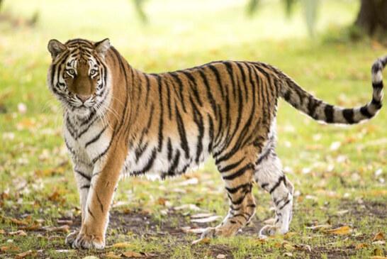 मोबाइल एप यह बताएगा उत्तराखंड में कहां हैं कितने बाघ