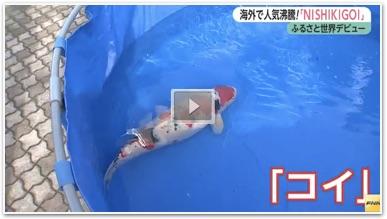 nishikigoi-video