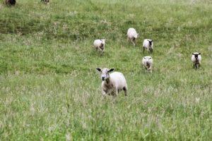 Lambs at Elysian Fields Farm. (Aimee McCarthy)