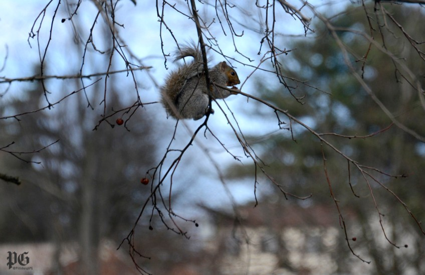 A squirrel sits near the end of a limb while snacking on dried up crabapples. (Darrell Sapp/Post-Gazette)