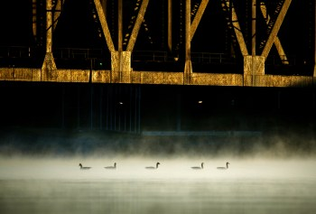 Canada geese float on the Ohio River under a train bridge on Tuesday, Oct. 3, 2017, in Bridgewater, Pa. (Andrew Rush/Post-Gazette)