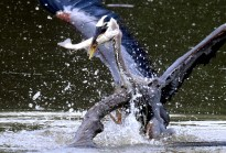 A Blue Heron splashes to get back up on a large floating branch after making its catch for breakfast out of Canonsburg Lake near Donaldson Crossroads in Washington County on Friday, June 16, 2017. (Darrell Sapp/Post-Gazette)