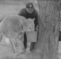A young calf discovers a bucket of sweet sap, much to the chagrin of the farmer and owner of the maple tree. (Pittsburgh Post-Gazette)